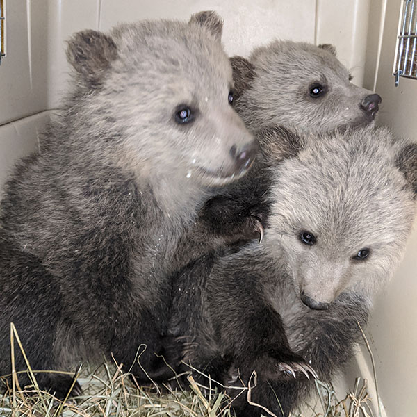 Photo of grizzly bear cubs